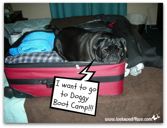 Doggy Boot Camp - pug in suitcase