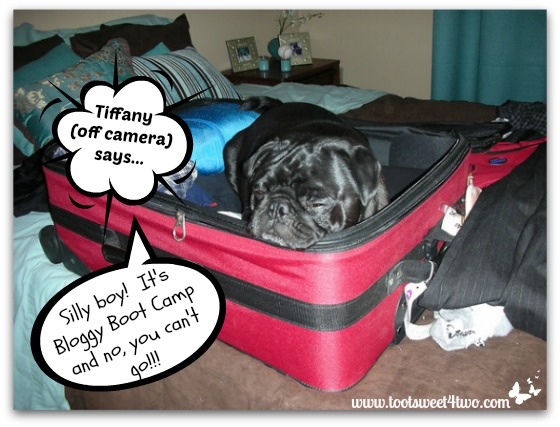 It's Bloggy Boot Camp - pug in suitcase
