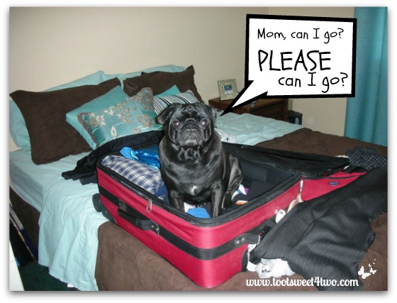Mom can I go - pug in suitcase