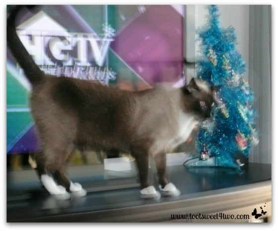 Coco in front of the TV and our blue Christmas tree