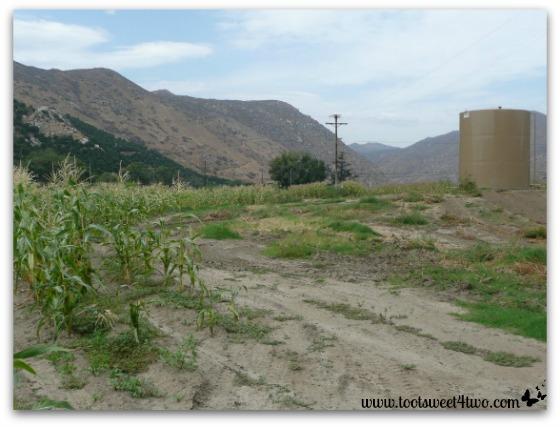 Corn field and water tank
