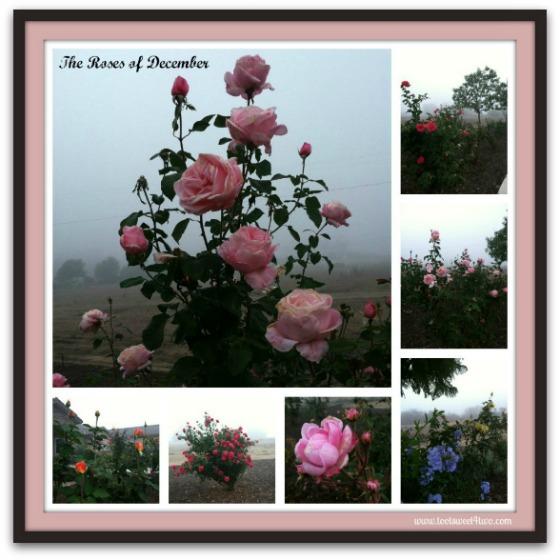 Rose Mist 1