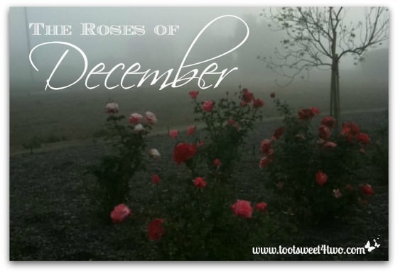The Roses of December cover