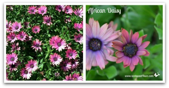 African Daisies - Good Photographs