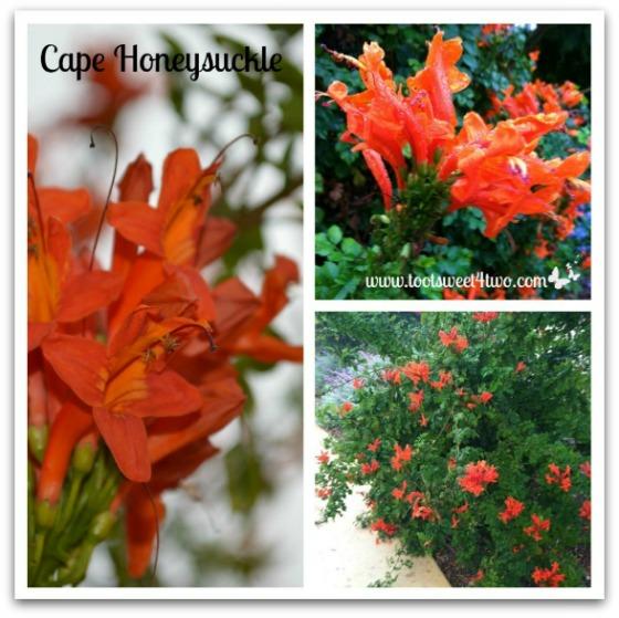 Cape Honeysuckle - Good Photographs