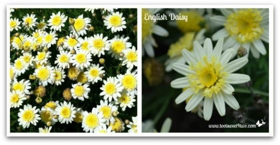 English Daisies - Good Photographs