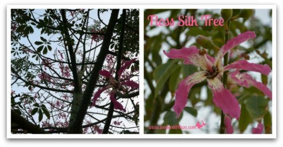 Floss Silk Tree - Good Photographs