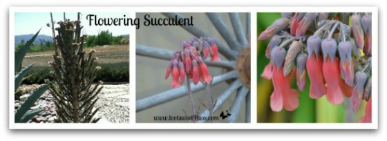 Flowering Succulent - Good Photographs