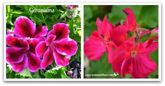 Geraniums - Good Photographs