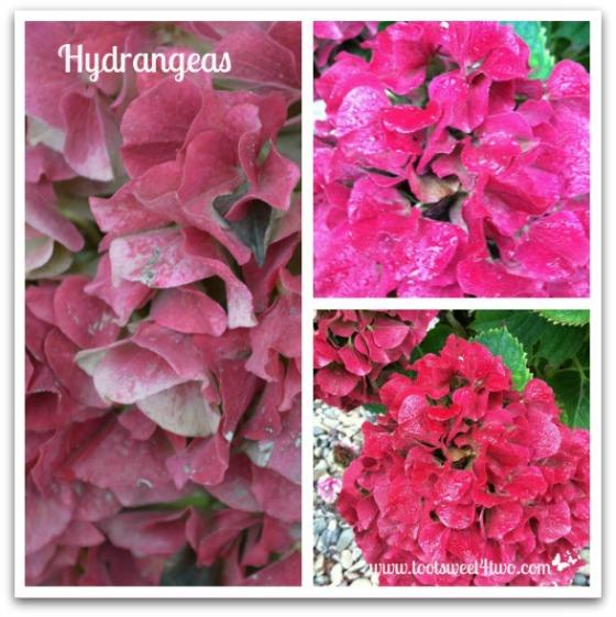 Hydrangeas - Good Photographs