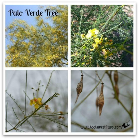 Palo Verde Tree - Good Photographs