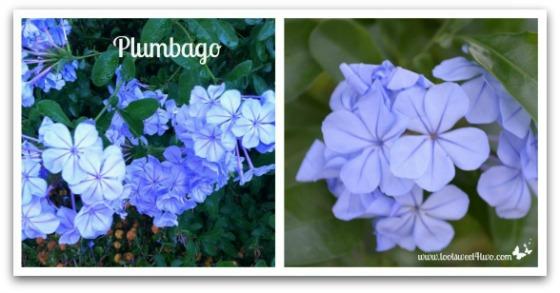 Plumbago - Good Photographs