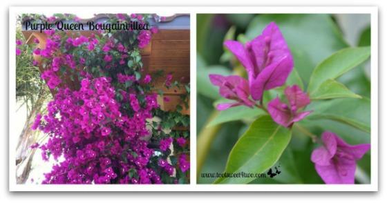 Purple Queen Bougainvillea - Good Photographs