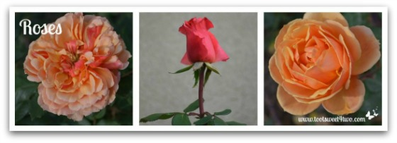 Sunset Roses - Good Photographs