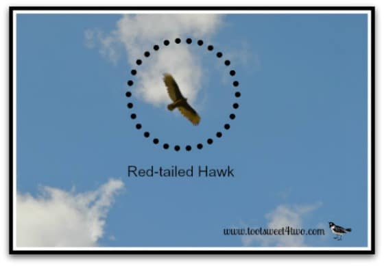 Red-tailed Hawk - 42 Shades of Red