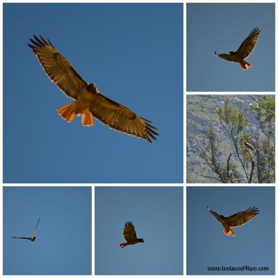 Hawk flying overhead