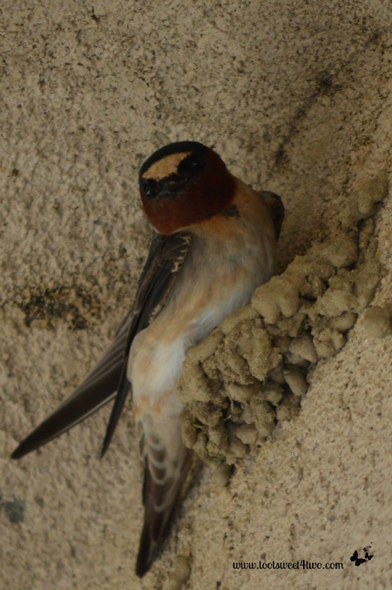 Swallow in partially completed nest