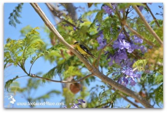A Hooded Oriole in our Jacaranda tree
