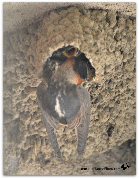 Baby Swallow's feeding time