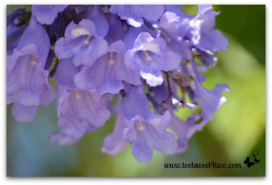 Close-up of Jacaranda blossoms