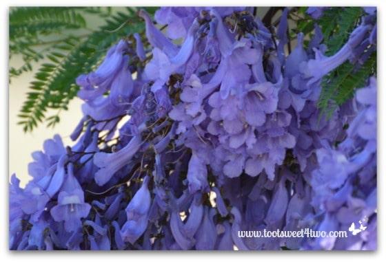 More Jacaranda blooms