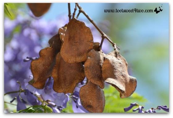 The seed pods of Jacaranda trees