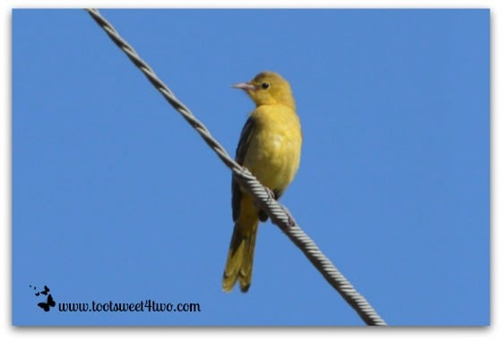 American Yellow Warbler on a wire above my house