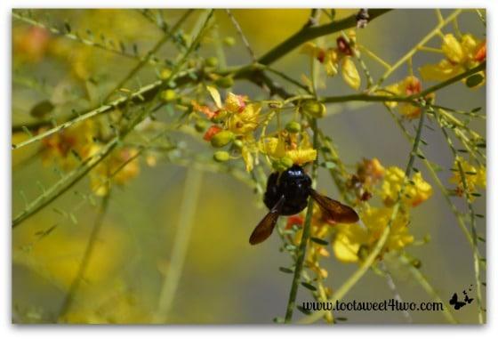 Carpenter Bee in my Palo Verde tree