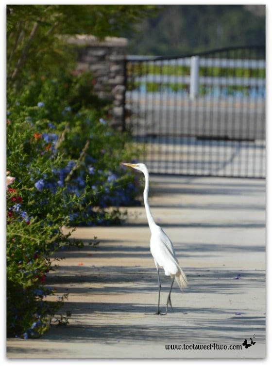 Egret cruising down my driveway