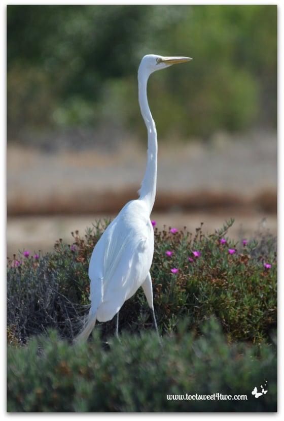 Egret walking around my yard