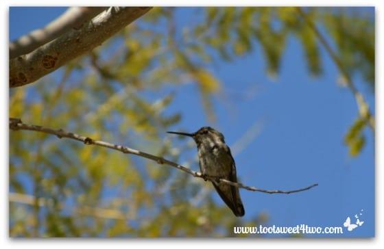 Hummingbird in my Jacaranda tree