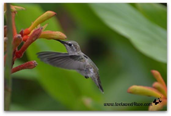 Hummingbird - wings forward