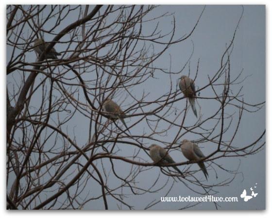 Mourning Doves aka Western Turtle Doves