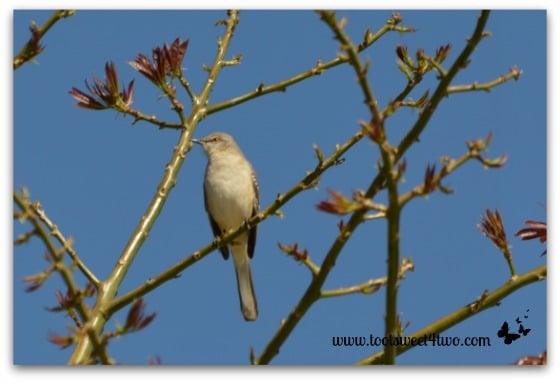 Unknown bird in my Silk Floss Tree