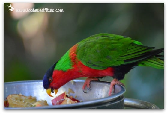 Collared Lory enjoying his meal at the San Diego Zoo