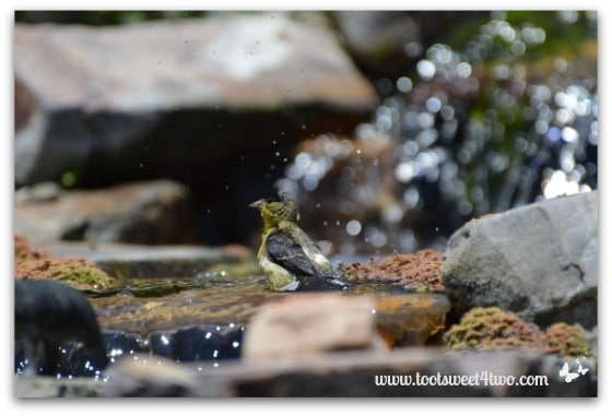 Magnolia Warbler in the water