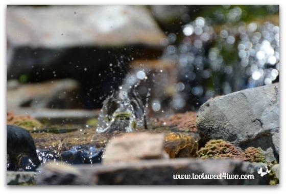 Magnolia Warbler taking a bath