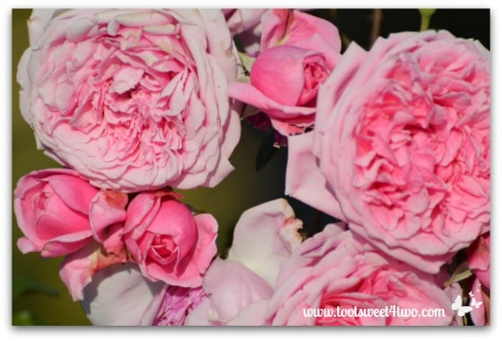 Old English Roses - Pretty in Pink