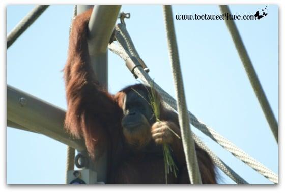 Orangatang at the San Diego Zoo