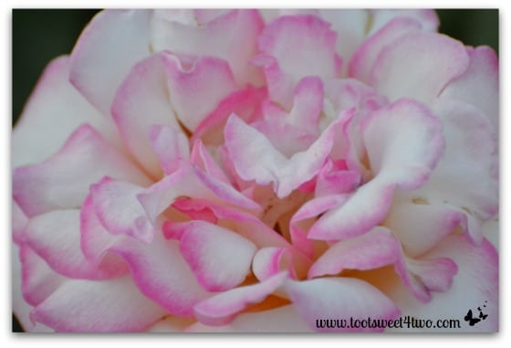 Pink and White Rose - Pretty in Pink
