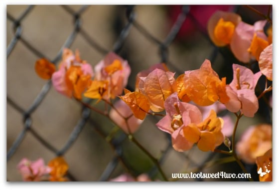 Bougainvillea on our fence