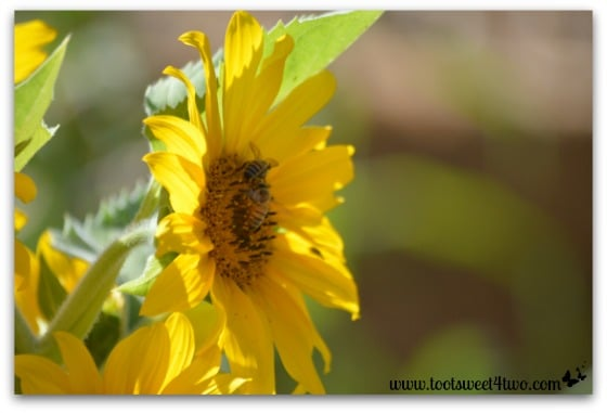 Sunflower side view with 2 bees