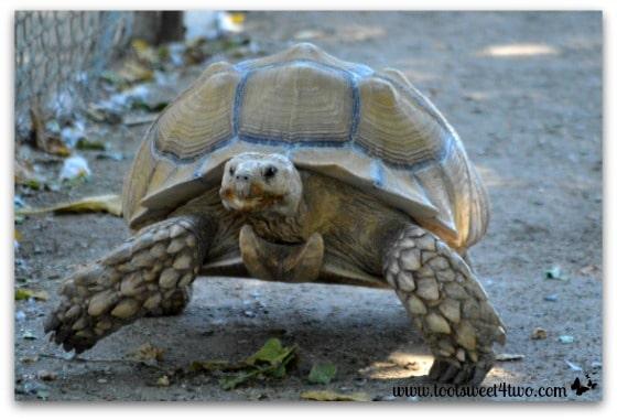 Turtle bookin' it at Bates Nut Farm