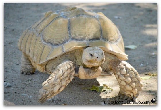Turtle race at Bates Nut Farm
