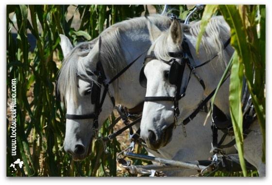 White draft horses
