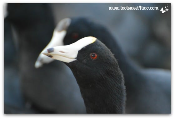 American Coot close-up