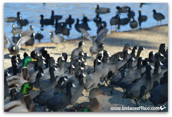 American Coots running wild!