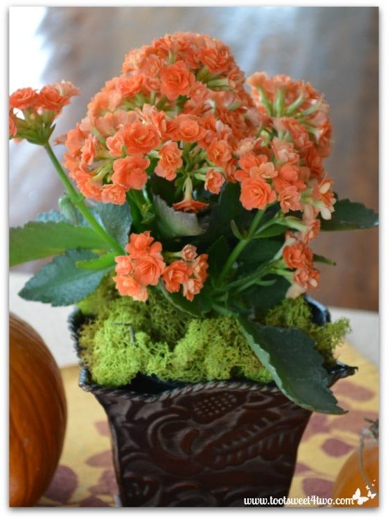 Beautiful orange kalanchoe flowers