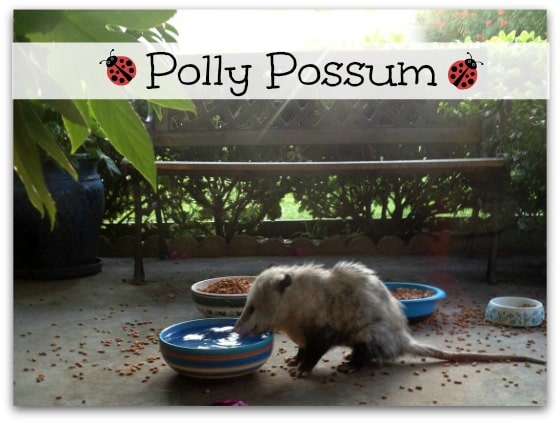 Polly Possum
