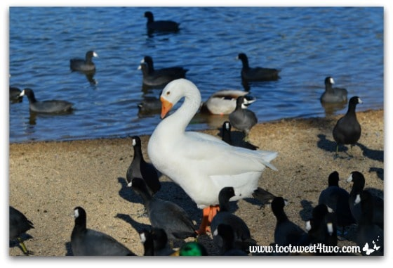 The ducks, swans and American coots at Lake Poway